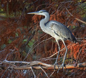 A blue heron on a branche.